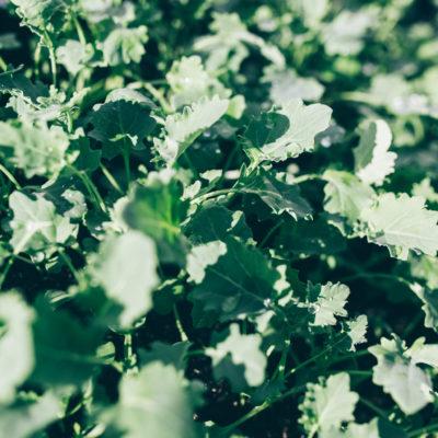 Kale Curly Seedlings